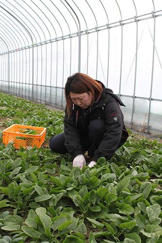 冬も野菜栽培で周年作業