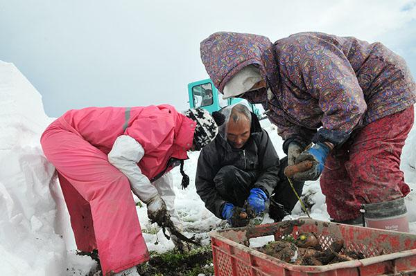 豪雪を生かした「雪の下にんじん」栽培