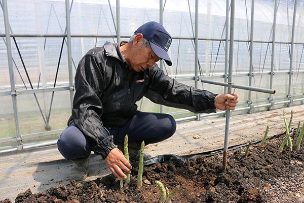 露地+ハウスでアスパラ栽培に取り組む