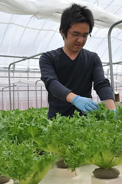 リーフレタス 農薬不使用で水耕栽培