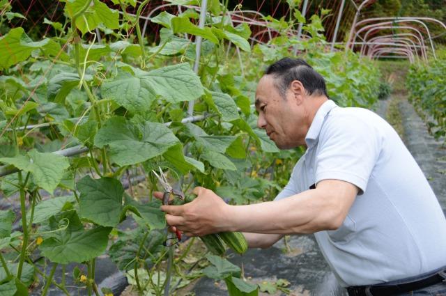 伝統の野菜 小様きゅうり