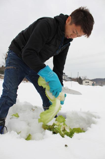 ハクサイ、ニンジンを雪下栽培